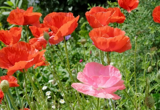 Flowers of red and pink poppies, papaveraceae rhoeas L, Papaveraceae in back light : Stock Photo