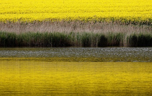 Lake landscape with field of rape and reflection : Stock Photo
