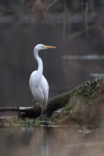 Great Egret Egretta alba, Giessen near Tratzberg Castle, Tyrol, Austria, Europe : Stock Photo