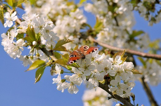 European Peacock Caterpillar Butterfly Inachis io perched on a cherry tree blossom Cerasus : Stock Photo