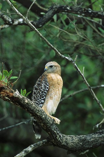 Red-shouldered Hawk, Buteo lineatus, Florida, USA : Stock Photo