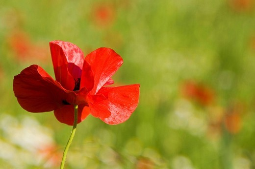 Corn poppy Papaver rhoeas : Stock Photo