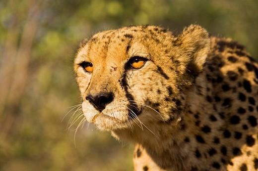Stock Photo: 1848R-338631 Cheetah Acinonyx jubatus, Namibia, Africa