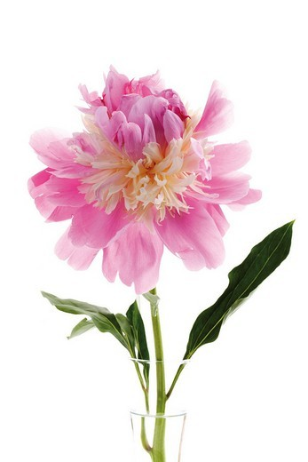 Pink Peony Paeonia officinalis : Stock Photo
