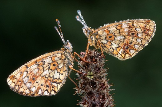 Two Small Pearl-bordered Fritillaries Boloria selene : Stock Photo