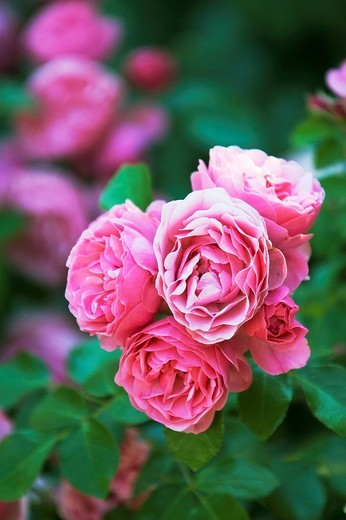 Stock Photo: 1848R-339641 Rose blossoms