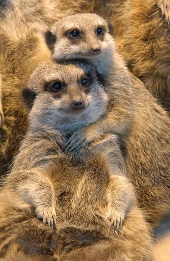 Meerkat Suricata suricatta : Stock Photo