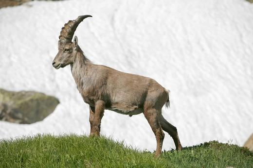 Alpine ibex Capra ibex standing in front of a field of old snow, Robiei, Ticino, Switzerland, Europe : Stock Photo