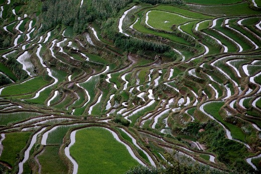 Stock Photo: 1848R-340621 Green rice fields on the hillside, terraced rice fields, Yuanyang, in Xinji, Yunnan Province, People´s Republic of China, Asia