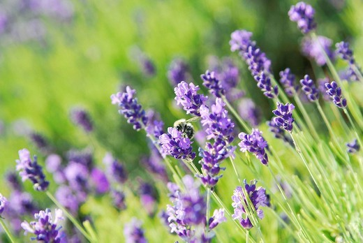 Lavender - Lavandula Angustifolia : Stock Photo