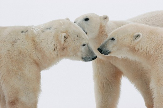 Stock Photo: 1848R-341043 Polar bears meeting Ursus maritimus, Churchill, Manitoba, Canada