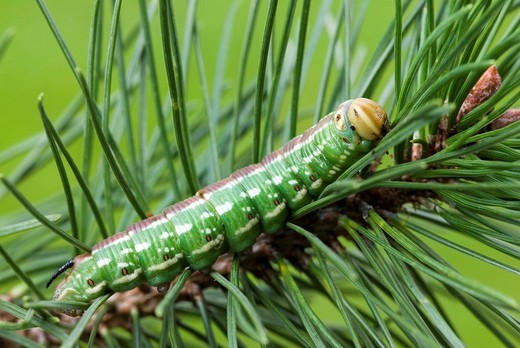 Stock Photo: 1848R-341181 Pine Hawk-moth caterpillar Hyloicus pinastri, Schwaz, North Tirol, Austria