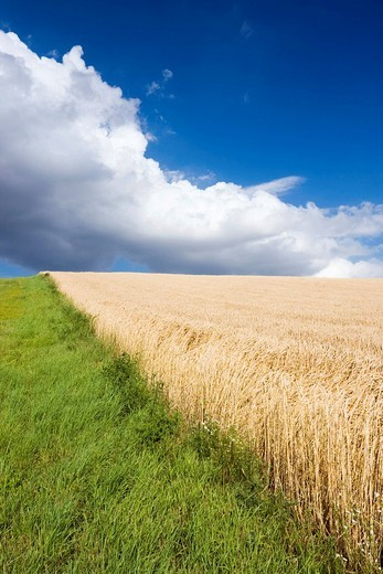 Cornfield, South Moravia, Czech Republic, Europe : Stock Photo