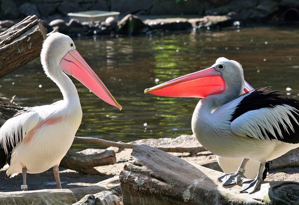 Stock Photo: 1848R-342033 Pelicans in the zoo, Germany