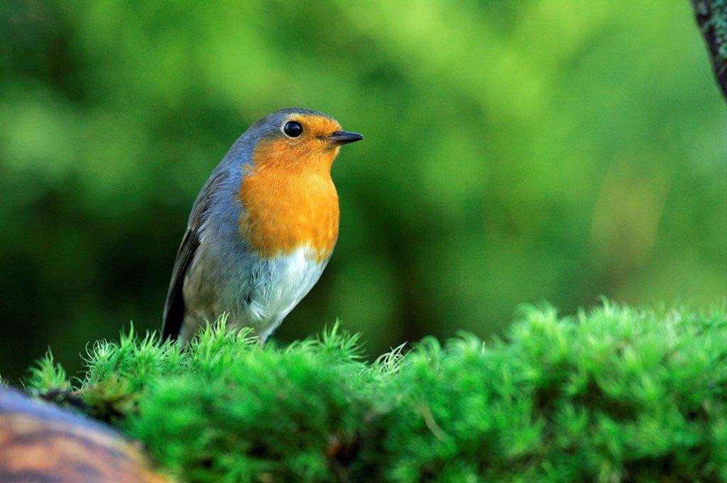 Stock Photo: 1848R-342073 Robin - european robin - robin redbreast Erithacus rubecula