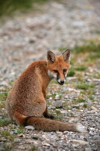 Red Fox Vulpes vulpes sitting on a path : Stock Photo