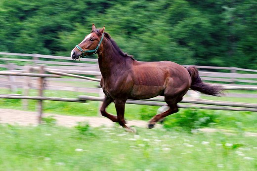 Running brown horse, Hradec nad Moravici, North Moravia, Czech Republic, Europe : Stock Photo