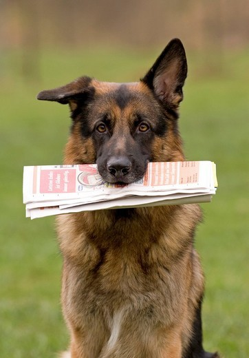 Stock Photo: 1848R-342911 German Sheperd with newspaper in its mouth