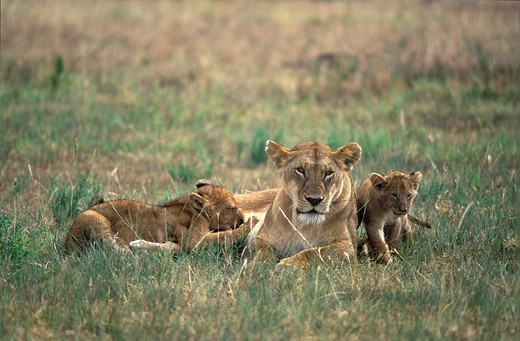 Lioness Panthera leo with suckling cubs - Masai Mara - Kenya : Stock Photo