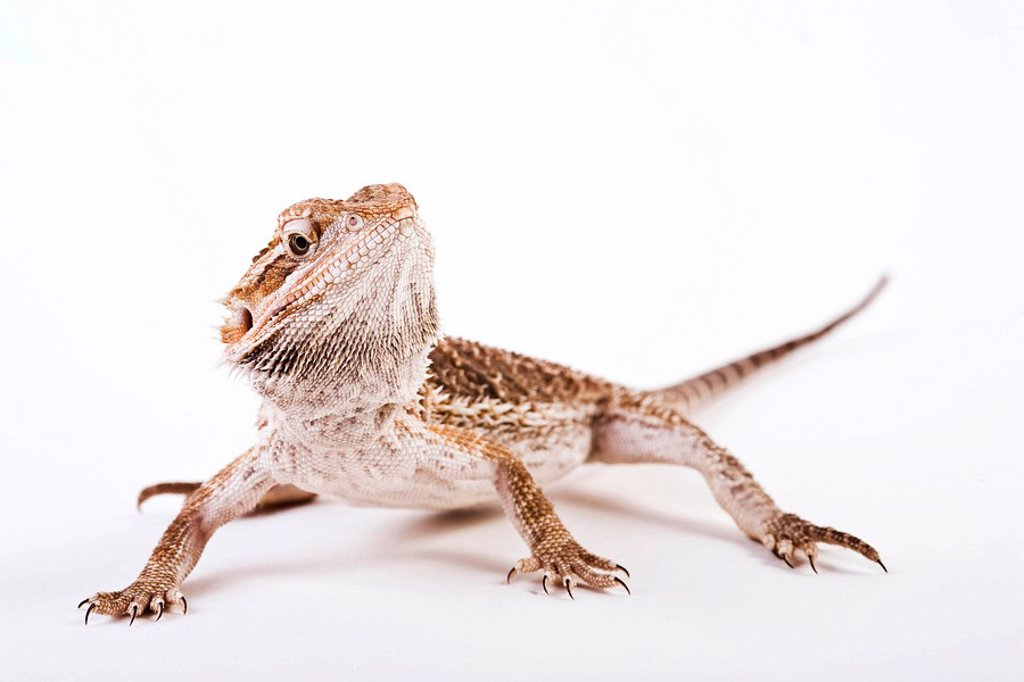 Stock Photo: 1848R-343092 Bearded Dragon Pogona vitticeps