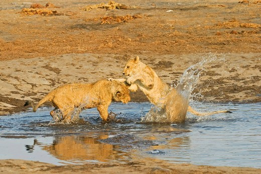 Playing lion cups Panthera leo in the waterhole, Savuti, Chobe Nationalpark, Botswana, Africa : Stock Photo