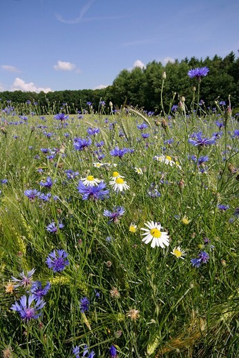 Wild flowers on the side of the field : Stock Photo