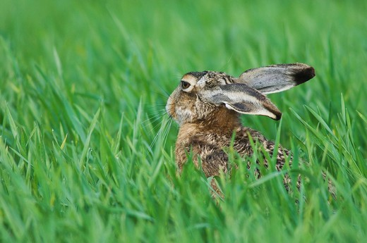 Brown Hare Lepus europaeus, adult in meadow eating, National Park Lake Neusiedl, Burgenland, Austria, Europe : Stock Photo