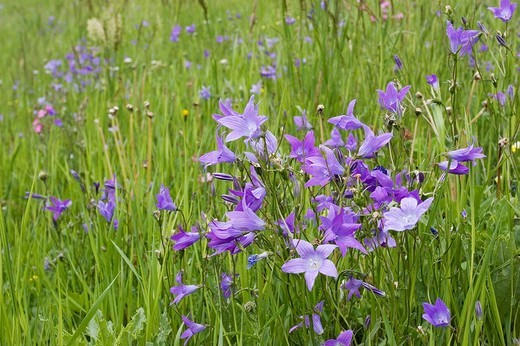 Stock Photo: 1848R-343975 Meadow with bellflowers Campanula, National Park Hohe Tauern, Austria