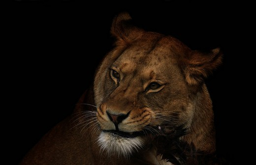 Lioness Panthera leo feeding at a zoo in Erfurt, Thuringia, Germany, Europe : Stock Photo