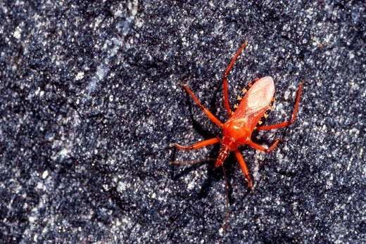 Red Assassin Bug Rhynocoris iracundus : Stock Photo