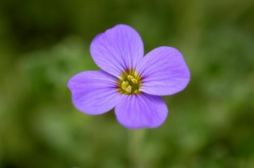 Aubretia Aubrieta deltoidea : Stock Photo