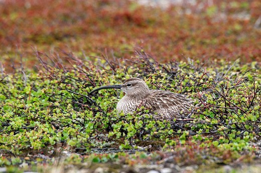 Stock Photo: 1848R-345739 Brooding Whimbrel Numenius phaeopus, treeless tundra in the north of Norway, Europe