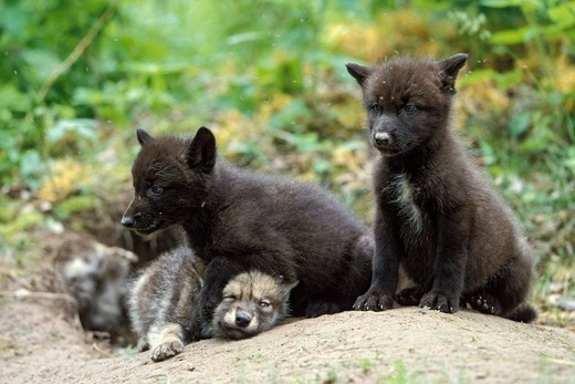 Wolf Canis lupus pups at den, North America : Stock Photo