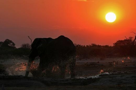 African elephant Loxodonta africana in the waterhole, sunset. Savuti, Chobe National Park, Botswana, Africa : Stock Photo