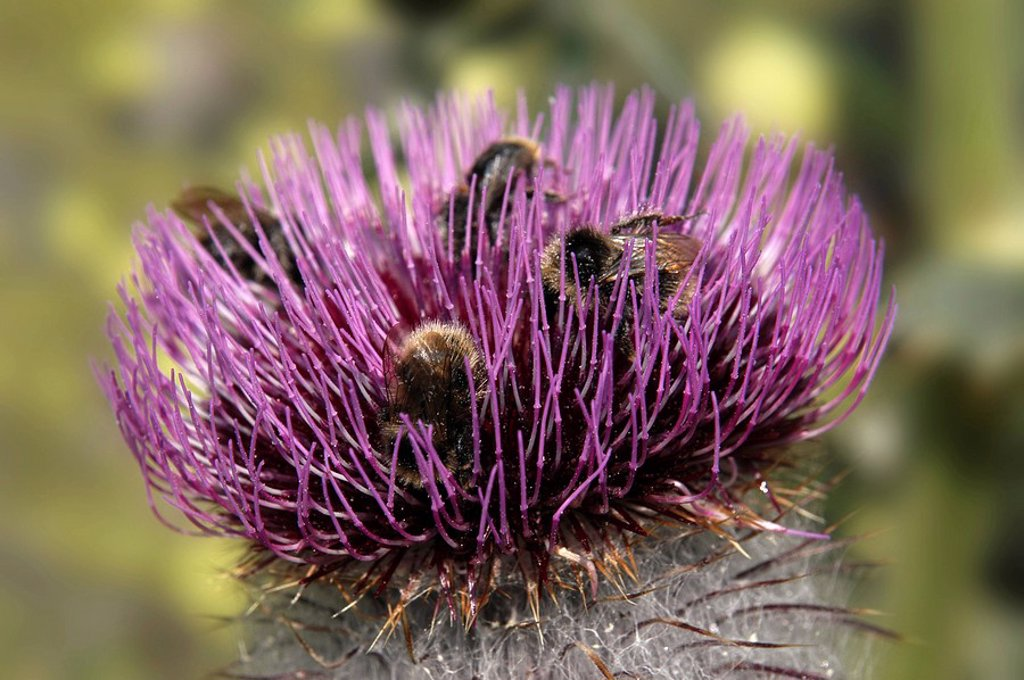Stock Photo: 1848R-346121 Cotton thistle Onopordum acanthium L , blossom with visitors, national park Hohe Tauern, Austria