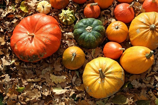 Stock Photo: 1848R-346483 Colourful Cucurbitas Cucurbita on autumn leaves