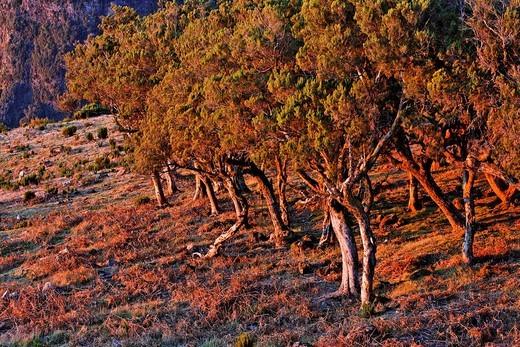 Tree heath Erica arborea, Achada do Teixeira, Madeira, Portugal : Stock Photo
