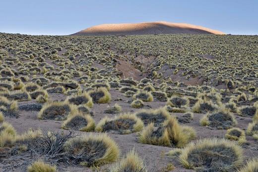 Paja brava grasses, Tatio Geysers, Región de Antofagasta, Chile, South America : Stock Photo
