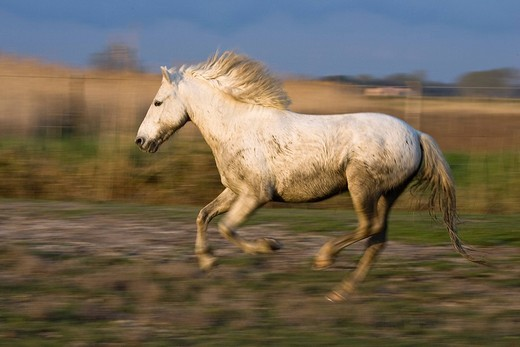 Gallopping Camargue horse, Camargue, Southern France, Europe : Stock Photo