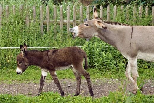 Donkey with foal, Equus asinus, Bavaria, Germany : Stock Photo
