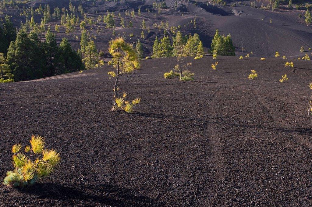 Llanos de Jable, volcanic ash, La Palma, Canary Islands, Spain, Europe : Stock Photo