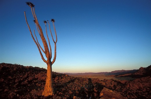 Stock Photo: 1848R-349316 Quiver tree Aloe dichotoma, Koiimasis Farm, Namibia