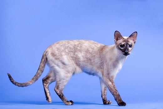 Stock Photo: 1848R-349319 Siamese cat