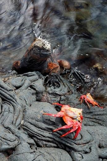 Stock Photo: 1848R-349675 Sally Lightfoot Crabs Grapsus grapsus and Marine Iguana Amblyrhynchus cristatus, Galapagos Islands, Ecuador, South America