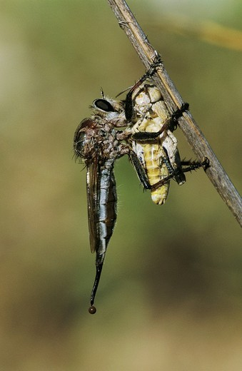 Stock Photo: 1848R-349916 Robber Fly Asilidae, adult with grasshopper prey, Starr County, Rio Grande Valley, Texas, USA