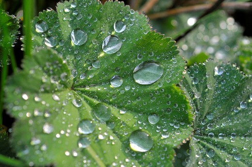 Drops of water on the leaf of a Lady´s Mantle Alchemilla : Stock Photo
