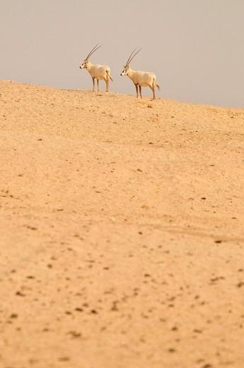 Arabian Oryx Arabian Oryx, Sir Bani Yas Island, Abu Dhabi, United Arab Emirates, Arabia, Near East, Orient : Stock Photo