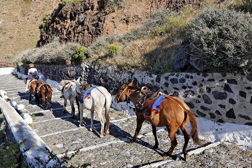 Nicely decorated donkeys, Thira, Santorini, Greece : Stock Photo