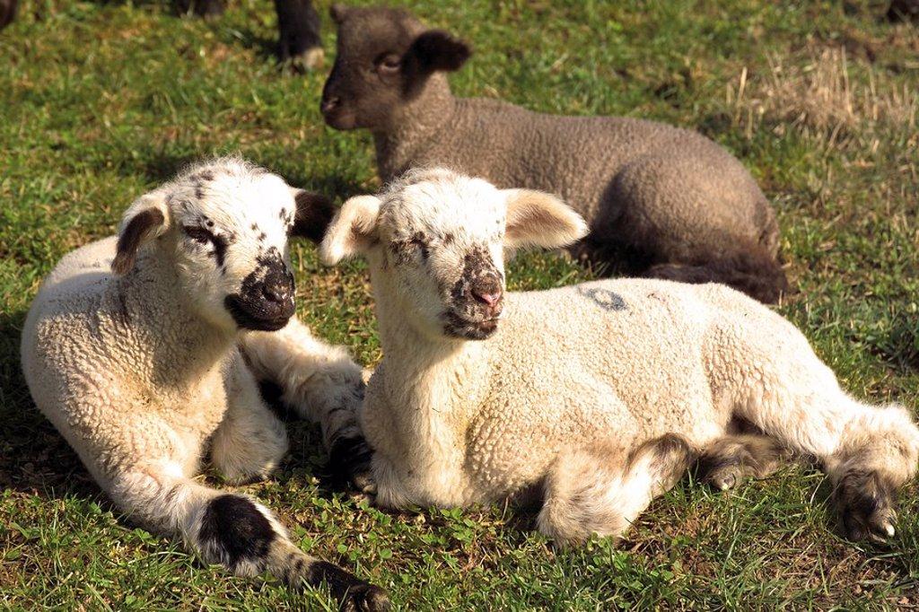 Dozing lambs : Stock Photo