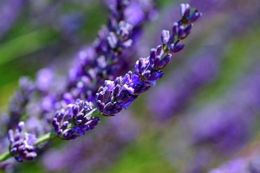 Stock Photo: 1848R-351613 Lavender Lavandula angustifolia, Provence, France